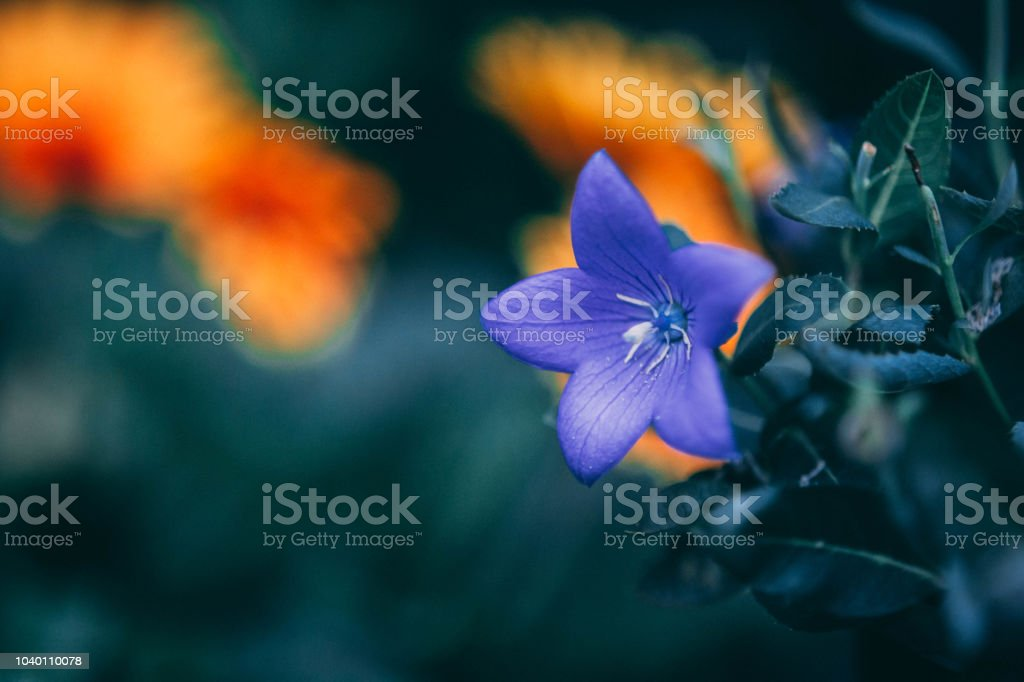 A beautiful blue flower in the garden stock photo
