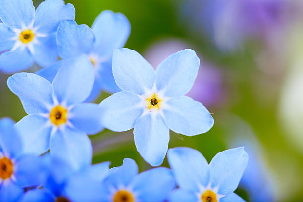 beautiful blue flowers  against white background. stock photo