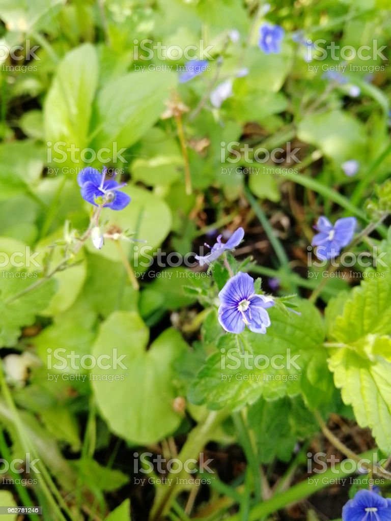Beautiful blue flowers and green out of fucus background stock photo beautiful blue flowers and green out of fucus background royalty free stock photo izmirmasajfo