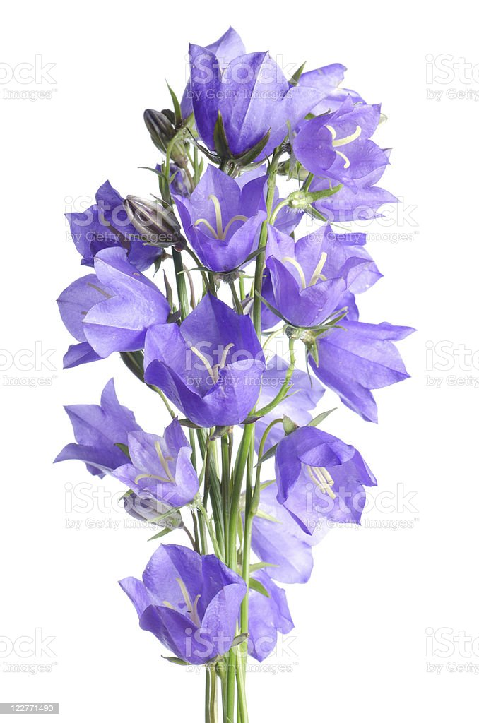 Beautiful blue flowers campanula royalty-free stock photo