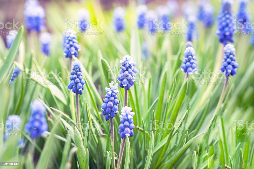 Beautiful blue flowers of muscari royalty-free stock photo
