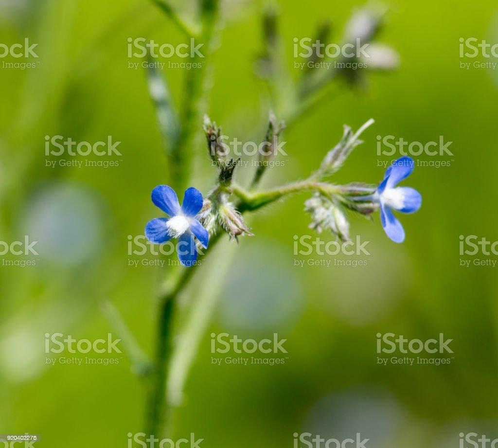 Beautiful blue flowers on nature stock photo more pictures of beautiful blue flowers on nature royalty free stock photo izmirmasajfo