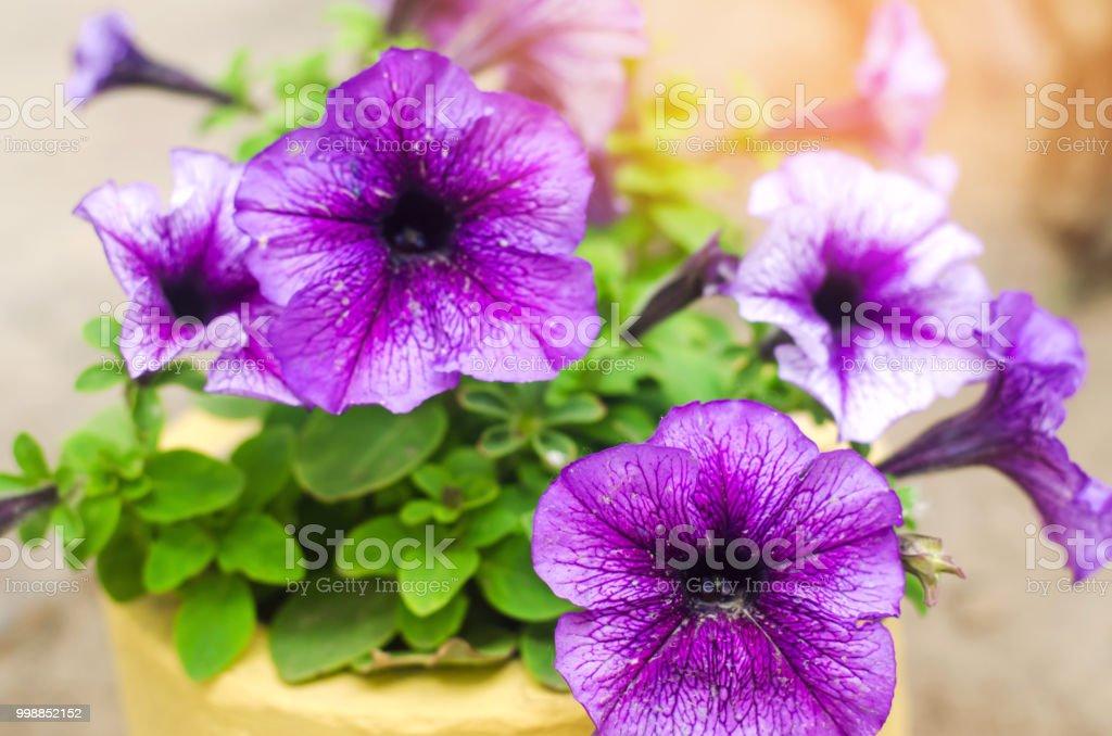 Fotografia De Petunia Flores Azules Increibles Fondos De Pantalla