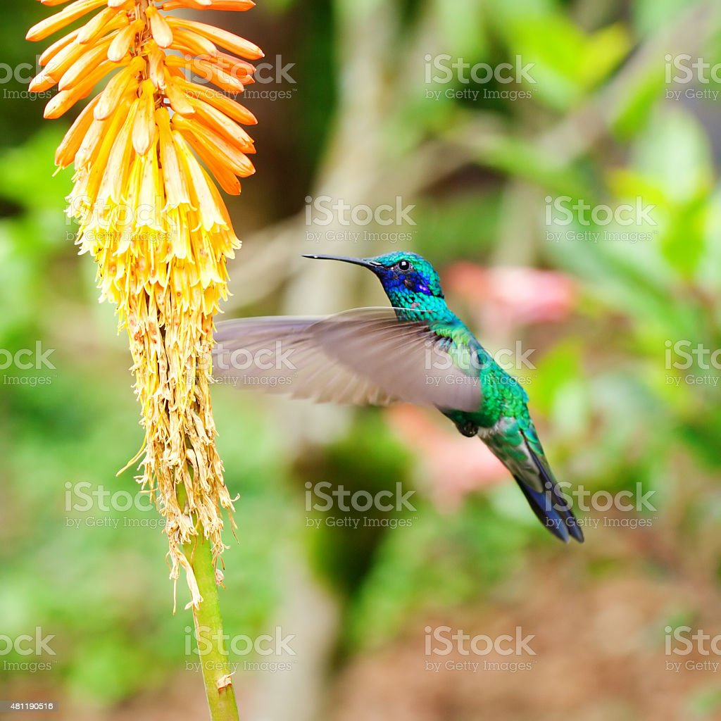 beautiful blue green hummingbird flying stock photo