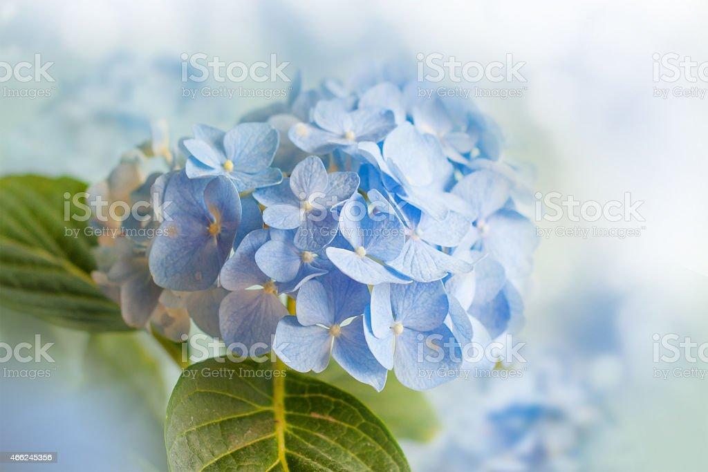 Beautiful blue hydrangea. stock photo