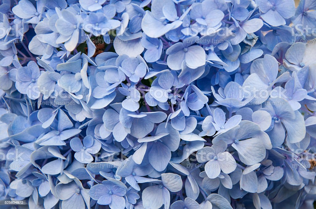Beautiful blue hydrangeas flower background. Natural color stock photo