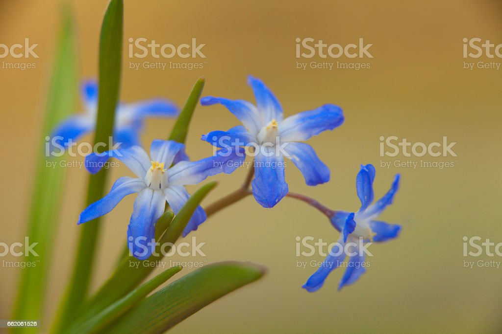 Beautiful blue Hyonodoxes in street in spring royalty-free stock photo