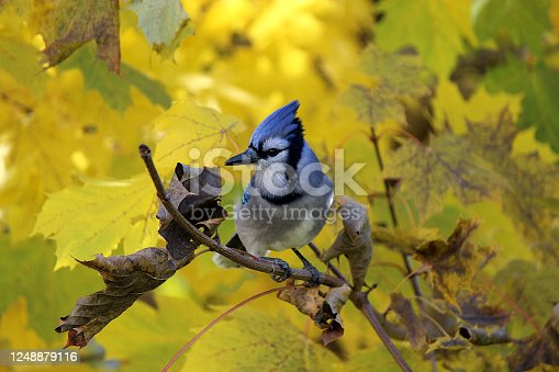 Stunning photo of a Blue Jay perched on an interesting tree branch in a forest.  The vivid blue and white markings of its feathers can clearly be seen.  The predominately yellow autumn leaves make for a stunning backdrop.