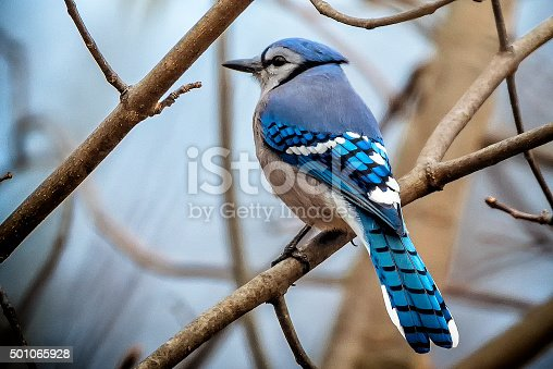 This is a photograph of a beautiful blue jay perched in a tree in mid December in Columbus, Ohio.