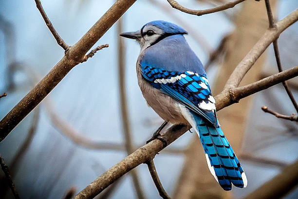 beautiful blue jay - birds stock photos and pictures