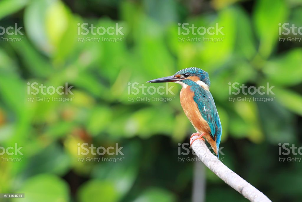 Beautiful blue Kingfisher bird on a branch. (Alcedo atthis) foto stock royalty-free