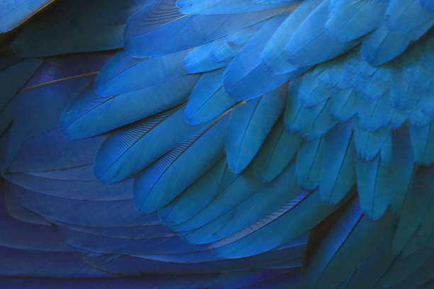 Beautiful blue macaw feathers. Beautiful blue macaw feathers. feather stock pictures, royalty-free photos & images