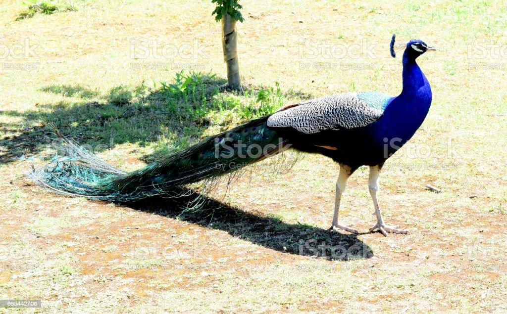 schöne blaue Pfau männlichen Pfauen Vogel im freien Osten angila – Foto