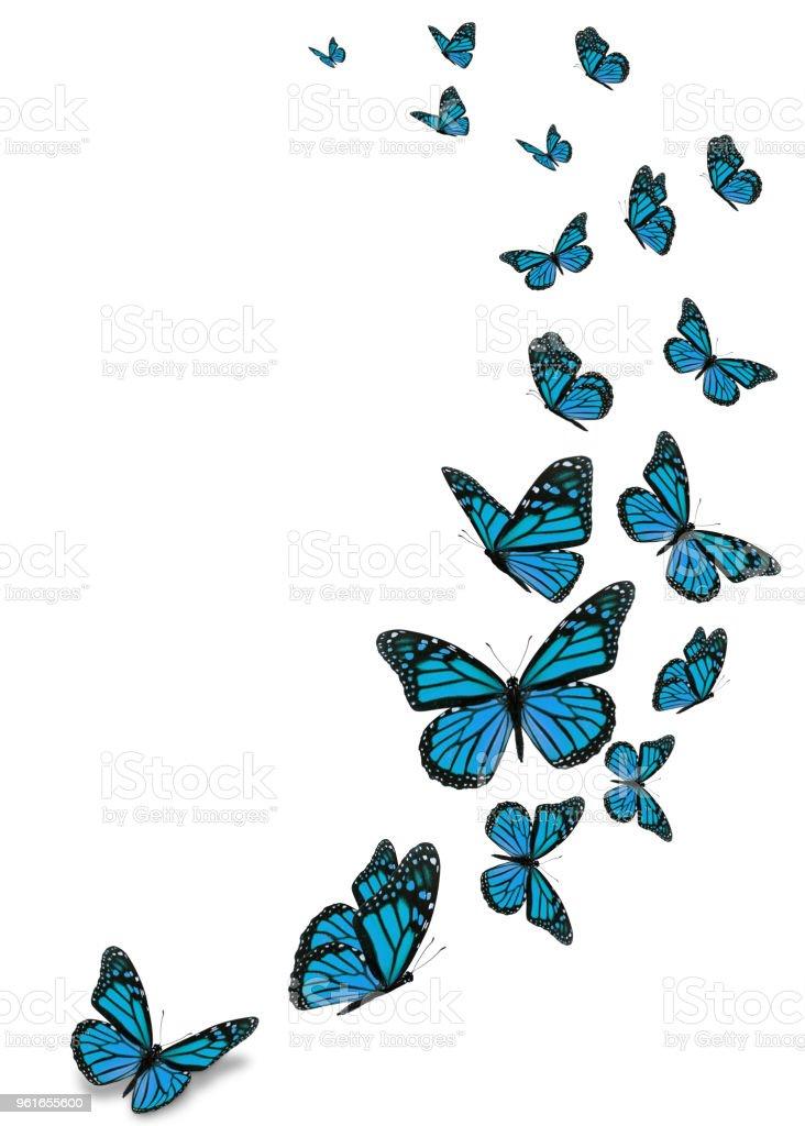 Beautiful blue monarch butterfly stock photo