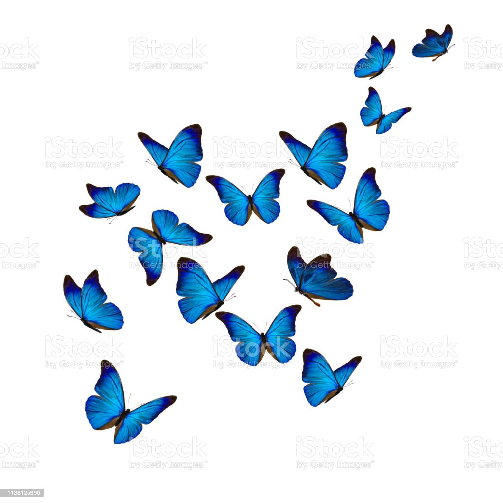 Beautiful Blue Morpho Butterfly Stock Photo Download Image Now Istock
