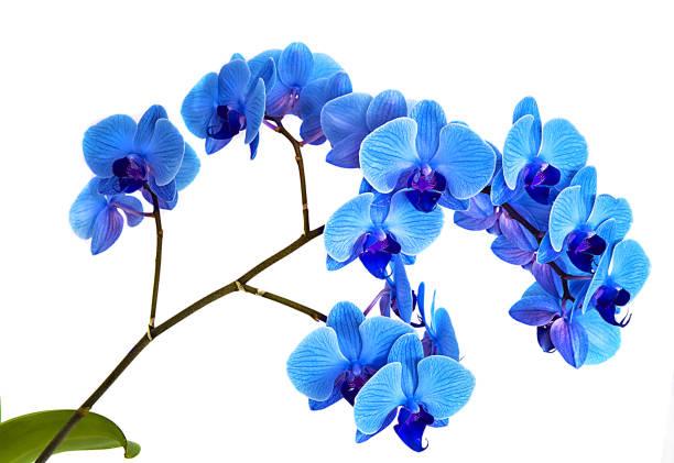 wunderschöne blaue Orchidee ohne Hintergrund, leuchtend blaue Orchidee Blüten auf weißem Hintergrund. – Foto