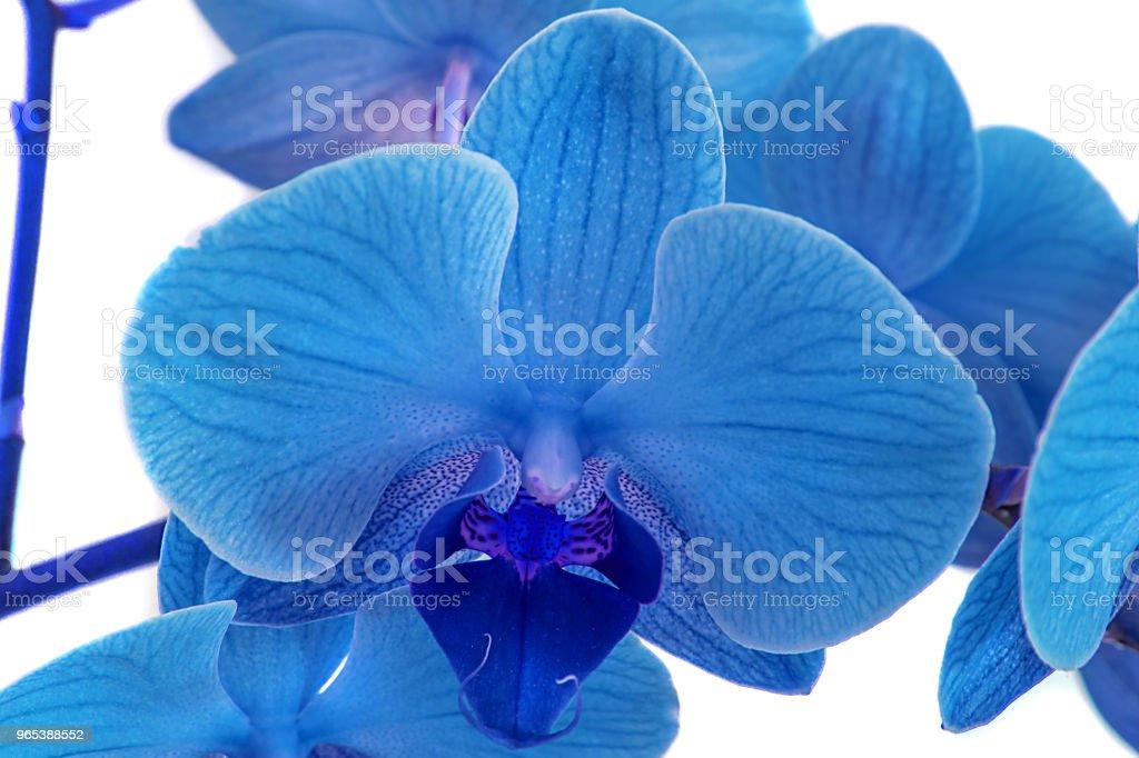 wunderschöne blaue Orchidee ohne Hintergrund, leuchtend blaue Orchidee Blüten auf weißem Hintergrund. - Lizenzfrei Ast - Pflanzenbestandteil Stock-Foto