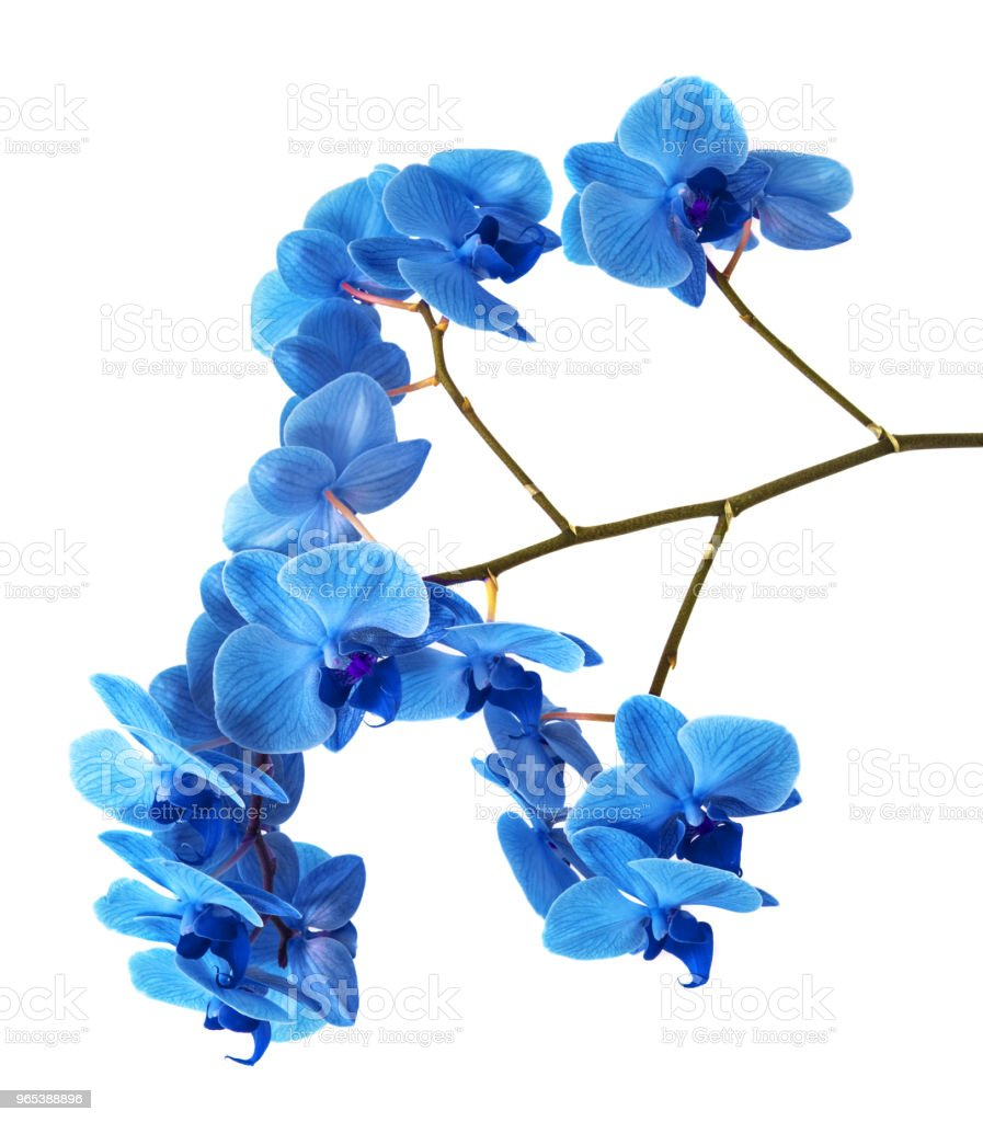 beautiful blue Orchid without background, bright blue Orchid flowers on a white background. royalty-free stock photo