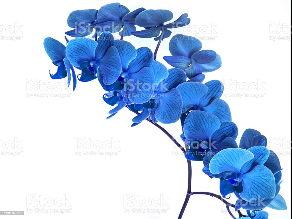 Beautiful blue orchid without background bright blue orchid flowers beautiful blue orchid without background bright blue orchid flowers on a white background royalty izmirmasajfo