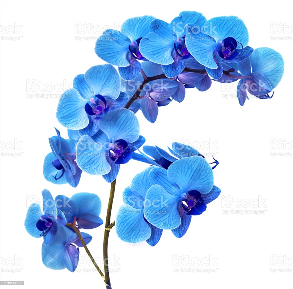 Beautiful Blue Orchid Without Background Bright Blue Orchid Flowers