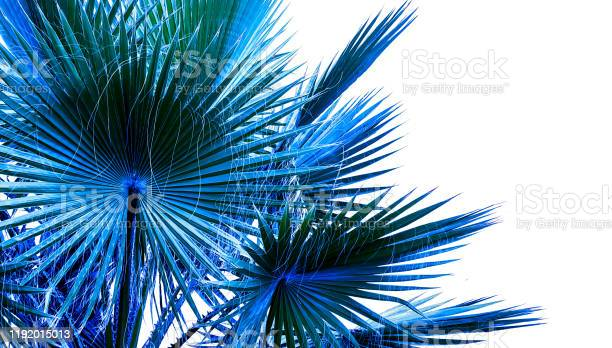 Beautiful blue palm tree leaves on white background.