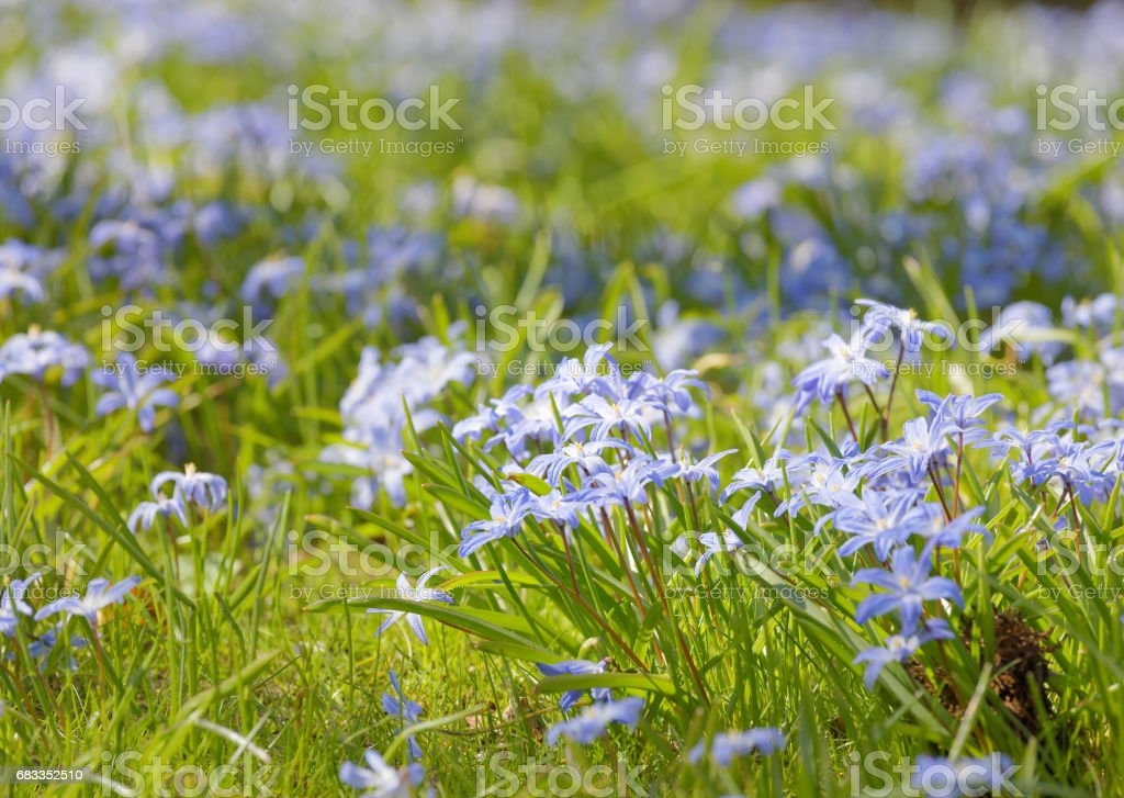 Beautiful blue scilla or squill flowers, short depth of focus stock photo