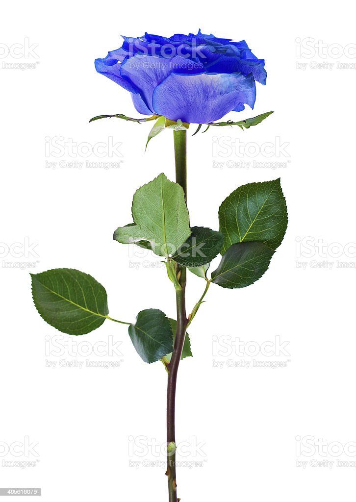 Beautiful Blue Single Rose Royalty Free Stock Photo