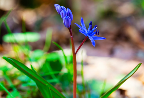 Beautiful Blue Squill Stock Photo - Download Image Now