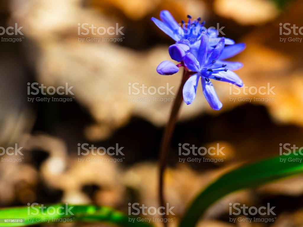 Beautiful blue squill Beautiful blue squill closeup Backgrounds Stock Photo