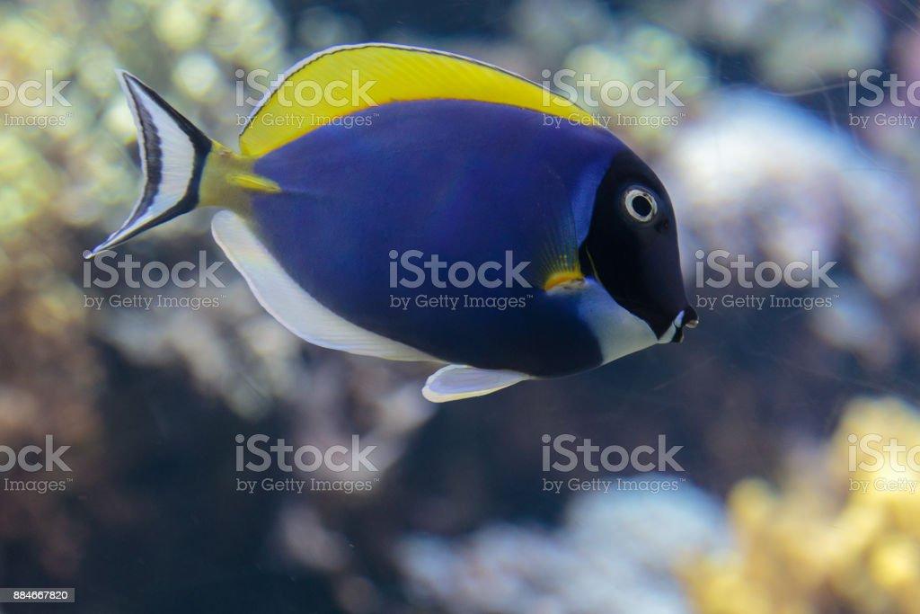 Beautiful Blue Surgeonfish, Paracanthurus Hepatus inside Aquarium stock photo