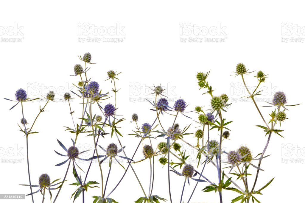 Beautiful blue thistles on a white background. stock photo