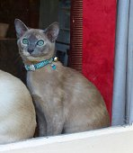 A gorgeous pure breed tonkinese cat looks out of the window welcoming her owner home. Stunning blue tortie with aqua eyes wearing a bejewelled bow collar.