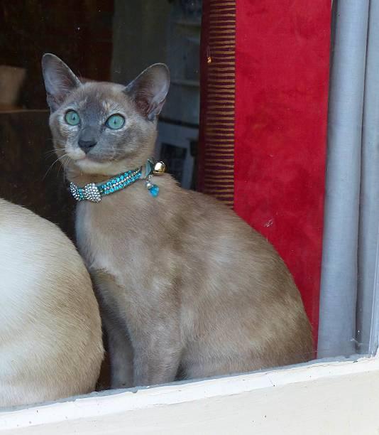 schöne blaue tonkinese katze treiben im fenster - türkise haare stock-fotos und bilder