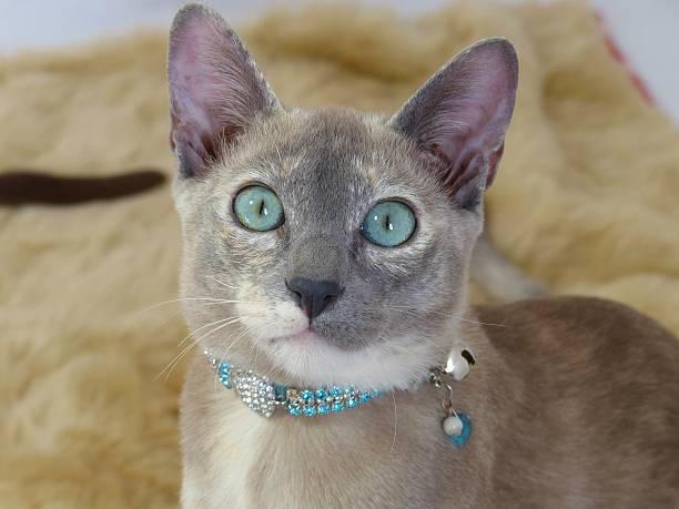 wunderschönen blauen tonkinese katze schaut in die kamera - türkise haare stock-fotos und bilder
