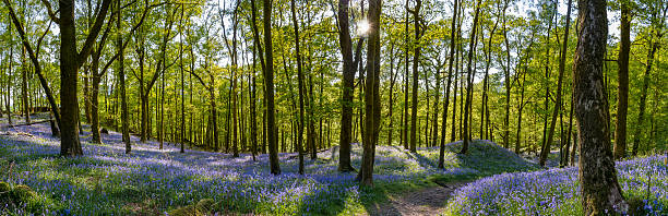 Beautiful Bluebell carpets with spring foliage on woodland trees. A panoramic image taken in a peaceful Bluebell woodland forest in Ambleside, Lake District, UK. The image features a small tranquil path which leads through the woods, sunlight shining through the trees producing shadows and lovely fresh blue/purple colours from the Bluebells. bluebell stock pictures, royalty-free photos & images