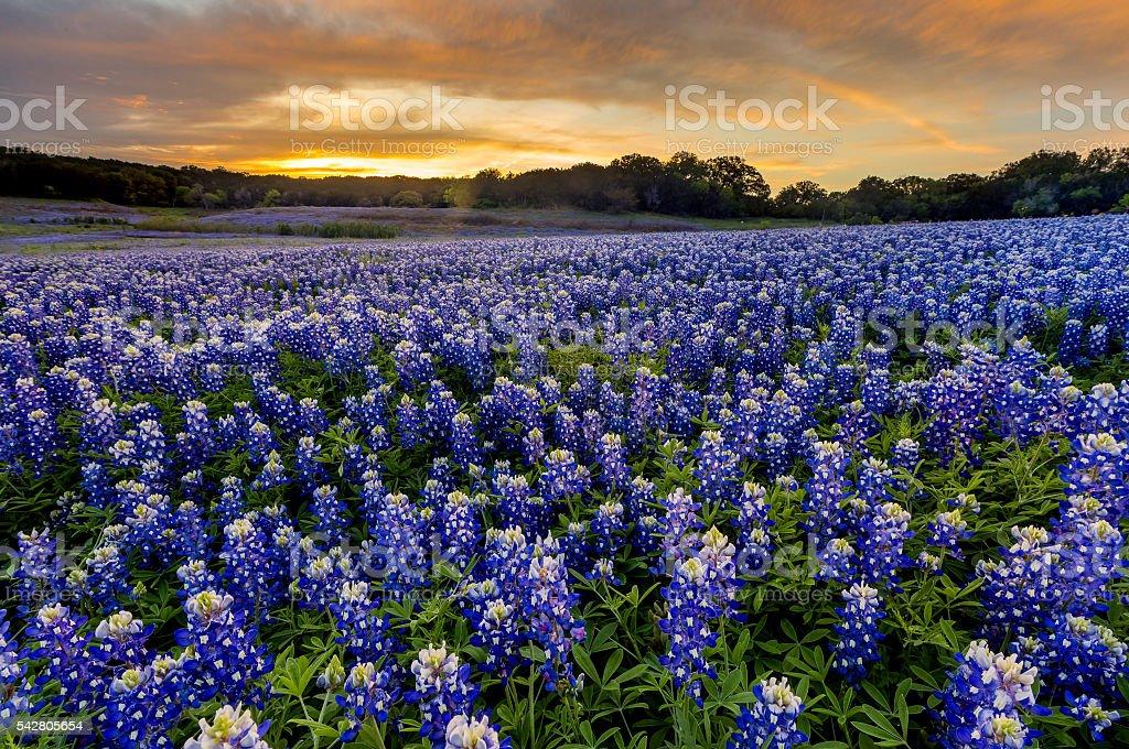 Beautiful Bluebonnets field at sunset near Austin, Texas in spri stock photo