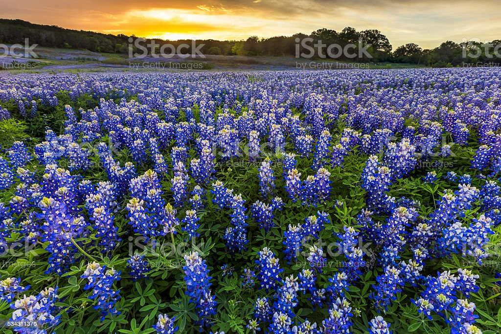 Beautiful Bluebonnets field at sunset near Austin, Texas in spring stock photo