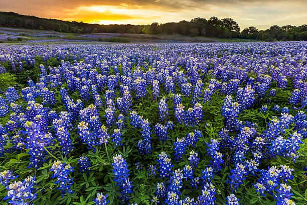 Beautiful Bluebonnets field at sunset near Austin, Texas in spring stock photo