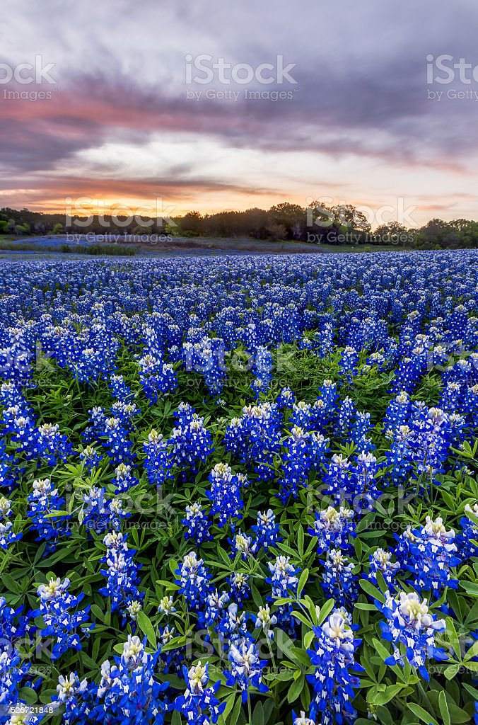 Beautiful Bluebonnets field at sunset near Austin, Texas stock photo