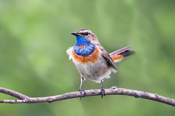 Magnifique Gorgebleue oiseau sur un vieux arbres - Photo