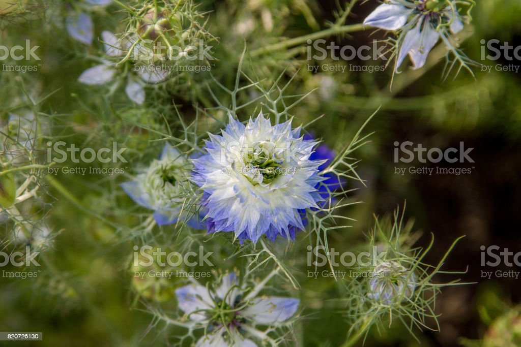 beautiful blue-white prickly flower stock photo