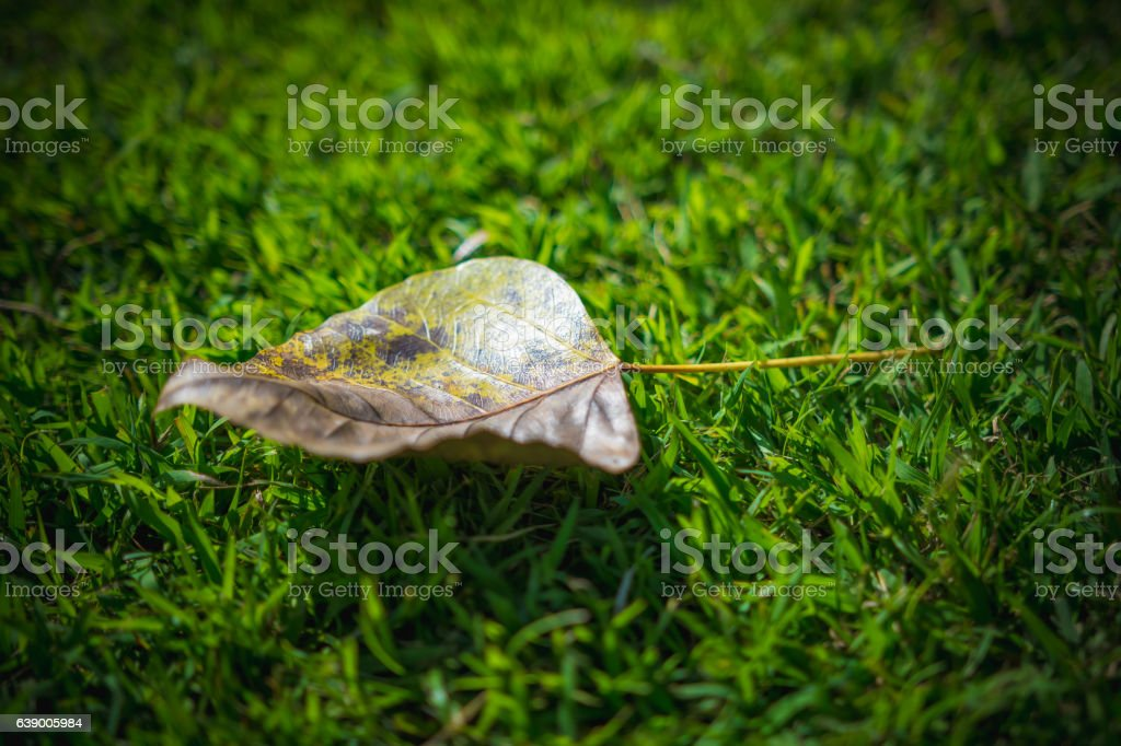 Beautiful Bo leaf on the grass in the sunlight.. stock photo