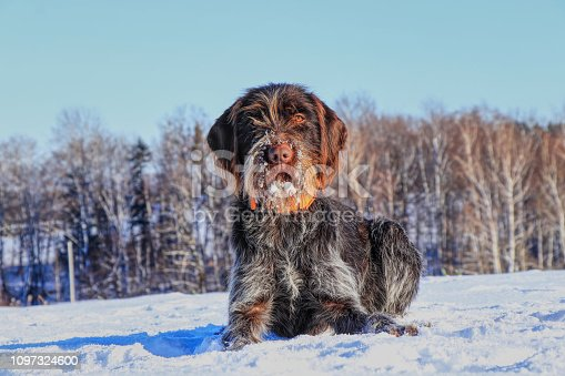 A beautiful Bohemian Wire-haired Pointing Griffon lying in the snow and waiting for signal. Cesky fousek is big hunter. Korthals griffon. Barbu tcheque.