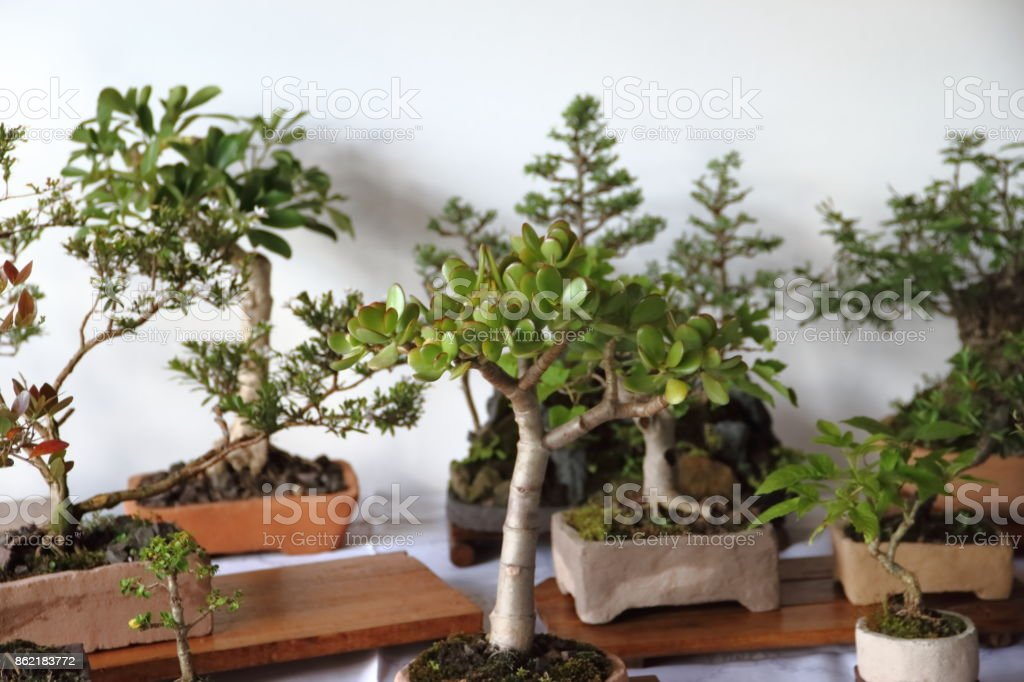 beautiful bonsai at the fair in spring stock photo