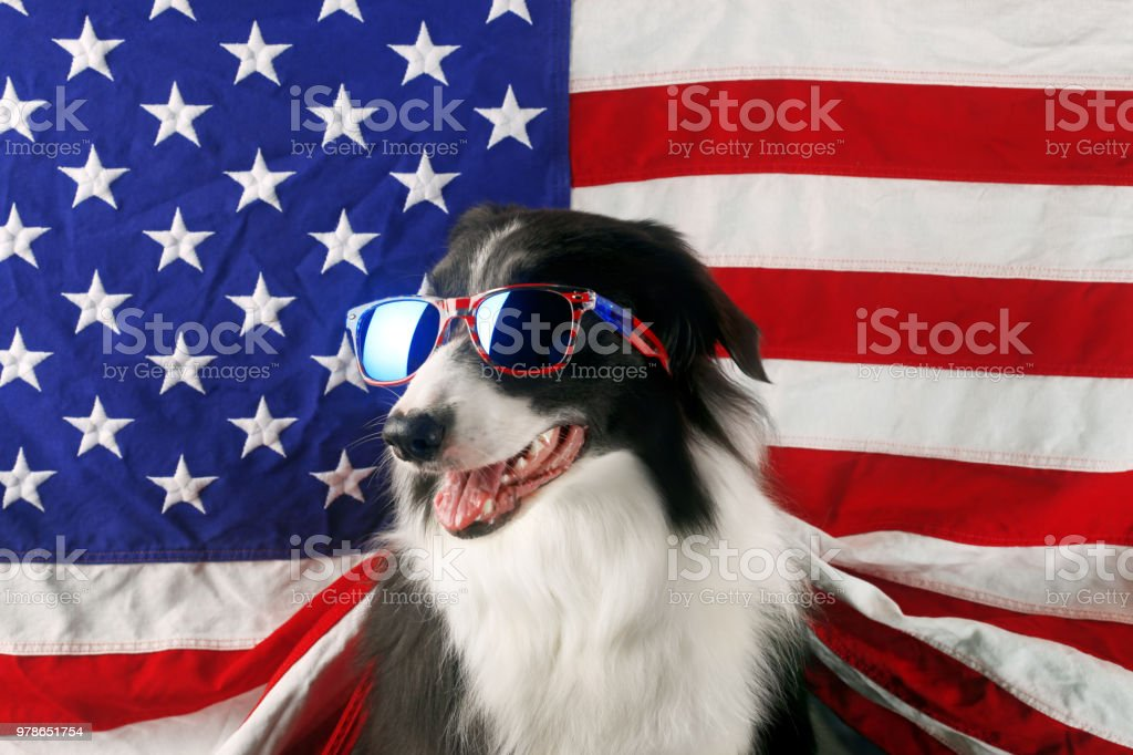 Beautiful border collie in front of a USA flag with sunglasses stock photo