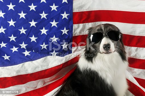 509363072 istock photo Beautiful border collie in front of a USA flag with sunglasses 978651778