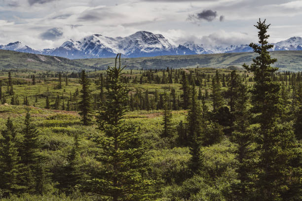 beautiful boreal forest along the richardson highway shows the delta mountain range - wilderness stock pictures, royalty-free photos & images