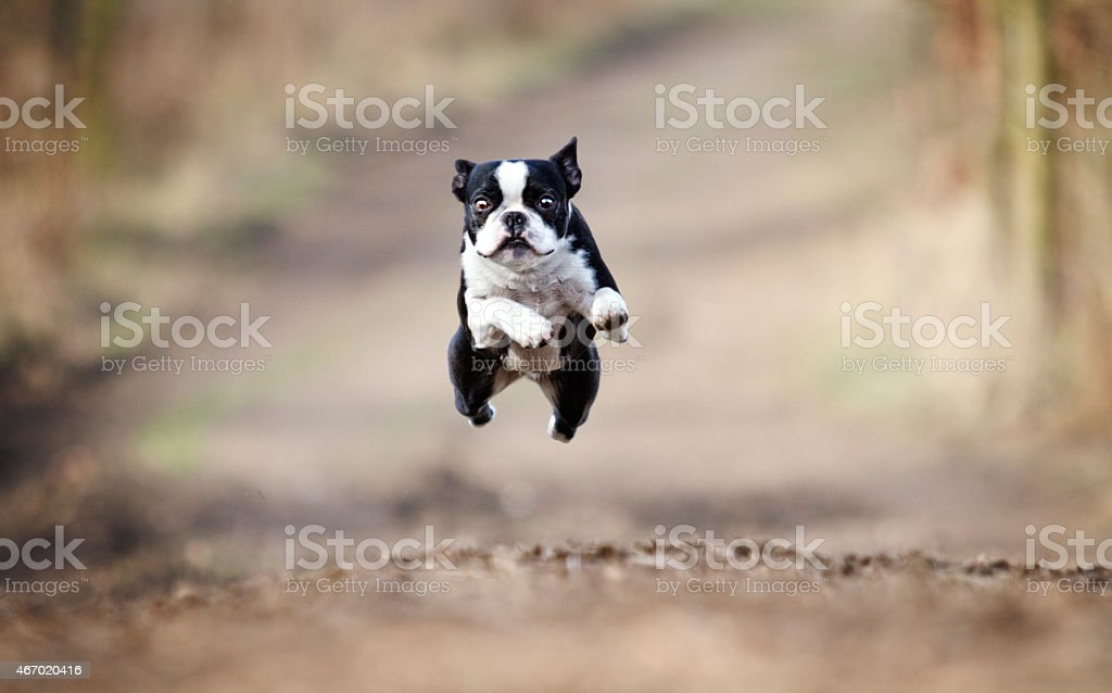 Hermoso boston terrier perro corriendo y volando en la primavera de fondo - foto de stock