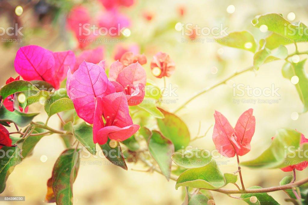 Pięknymi bugenwillami – zdjęcie