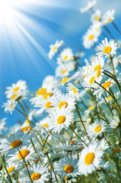 Beautiful bouquet of daisies in the field stock photo